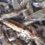 小イカ(冷凍) 約200g (浜坂産) 今回は主に白イカです。 (小型のイカ・豆いか・釣・えさ・エサ・餌)