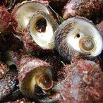 ニナ貝(しったか・みな貝)(活生)大小サイズ混ざり 約500g(浜坂産)(バテイラ、なんこ、ナンコ、シッタカ、尻高)