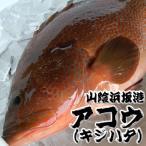 超高級魚 アコウ 1尾 約34-36cm (生冷凍・調理済み) (浜坂産)(キジハタ、アカミズ、赤水)