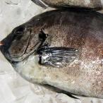 石鯛(冷凍・下処理済み)1尾 約800-890g(調理前の重さ)(浜坂産)(イシダイ・いしだい)