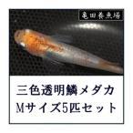[メダカ 生体] 三色透明鱗めだか MLサイズ5匹セット [三色透明鱗メダカ]