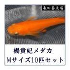 めだか 楊貴妃メダカ - LMサイズ10匹セット