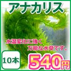 アナカリス/オオカナダモ 10本 水草 金魚藻