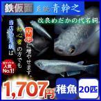 メダカ/鉄仮面系統青幹之メダカ/青みゆきメダカ 稚魚20匹