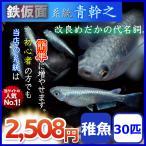 メダカ/鉄仮面系統青幹之メダカ/青みゆきメダカ 稚魚30匹