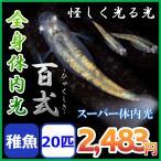 メダカ/全身体内光めだか 稚魚20匹 百式メダカ