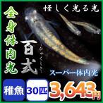 メダカ/全身体内光めだか 稚魚30匹 百式メダカ