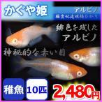 かぐや姫/アルビノ楊貴妃透明鱗ヒカリメダカ 稚魚10匹
