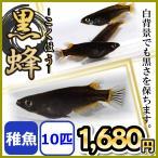 メダカ/黒蜂めだか 黒透明鱗 稚魚10匹