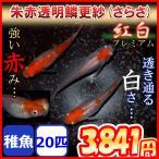 更紗/紅白めだか 稚魚20匹 更紗メダカ