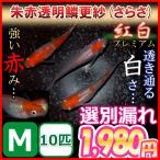メダカ/更紗/紅白めだか選別漏れMサイズ10匹
