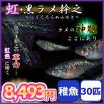 メダカ/虹・黒ラメ幹之メダカ 稚魚30匹