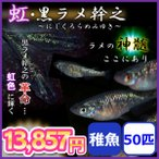メダカ/虹・黒ラメ幹之メダカ 稚魚50匹