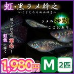 メダカ/虹・黒ラメ幹之メダカ Mサイズ2匹