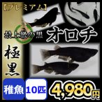 メダカ/オロチめだか 極黒 稚魚10匹