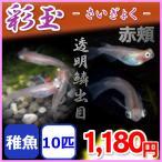 メダカ/彩玉 透明鱗出目めだか 稚魚10匹