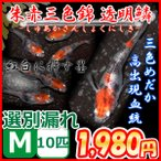 メダカ/朱赤三色錦透明鱗めだか 選別漏れMサイズ10匹