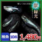 メダカ/ 新緑光メダカ 稚魚10匹 /新緑光めだか