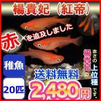 送料無料/紅帝 楊貴妃メダカ 稚魚20匹セット/ メダカ
