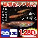 楊貴妃ラメ幹之メダカ/楊貴妃ラメみゆきメダカ 稚魚10匹