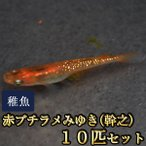 メダカ / 赤ブチラメみゆき(幹之)めだか 虹色ラメ 未選別 稚魚 SS-Sサイズ 10匹セット