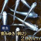 メダカ / 送料無料 青みゆき(幹之)めだか 未選別 稚魚 SS-Sサイズ 20匹セット / 幹之メダカ