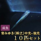 メダカ / 青みゆき(幹之)めだか中光〜強光 10匹セット / 幹之メダカ 限定大特価
