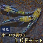 メダカ / オーロラ黄ラメめだか 虹色ラメ 未選別 稚魚 SS-Sサイズ 10匹セット