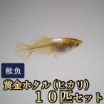 メダカ / 黄金ホタル(ヒカリ)めだか 稚魚 SS-Sサイズ 10匹セット / 鳳凰