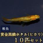 メダカ / 黄金黒鱗ホタル(ヒカリ)めだか 稚魚 SS-Sサイズ 10匹セット(お一人様5点限り)