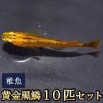 メダカ / 黄金黒鱗めだか 稚魚 SS-Sサイズ 10匹セット / 黄金黒鱗メダカ 限定大特価