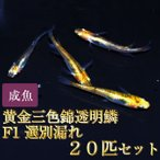 メダカ / 黄金三色錦透明鱗めだかF1 20匹セット / 三色透明鱗メダカ