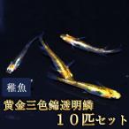 メダカ / 黄金三色錦透明鱗めだか 稚魚 SS-Sサイズ 10匹セット / 三色透明鱗メダカ