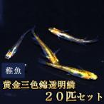 メダカ / 黄金三色錦透明鱗めだか 稚魚 SS-Sサイズ 20匹セット / 三色透明鱗メダカ