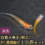 メダカ / 白黄みゆき(幹之)めだかF1 10匹セット