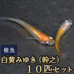 メダカ / 白黄みゆき(幹之)めだか 未選別 稚魚 SS-Sサイズ 10匹セット