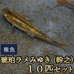 メダカ / 琥珀ラメみゆき(幹之)めだか 虹色ラメ 未選別 稚魚 SS-Sサイズ 10匹セット(お一人様1点限り)