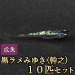 メダカ / 黒ラメみゆき(幹之)めだか 虹色ラメ 10匹セット