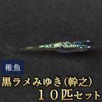 メダカ / 黒ラメみゆき(幹之)めだか 虹色ラメ 未選別 稚魚 SS-Sサイズ 10匹セット