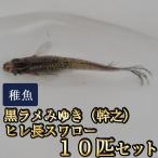 メダカ / 黒ラメみゆき(幹之)ヒレ長スワローめだか 未選別 稚魚 SS-Sサイズ 10匹セット
