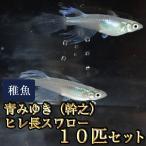 メダカ / 青みゆき(幹之)ヒレ長スワローめだか 松井系 未選別 稚魚 SS-Sサイズ 10匹セット 限定大特価