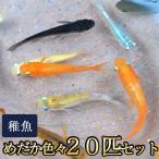 メダカ / めだか色々お楽しみ 稚魚 SS-Sサイズ 20匹セット