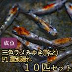 メダカ / 新系統 / 三色ラメみゆき(幹之)めだか 虹色ラメ F1 選別漏れ 10匹セット