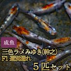 メダカ / 新系統 / 三色ラメみゆき(幹之)めだか 虹色ラメ F1 選別漏れ 5匹セット