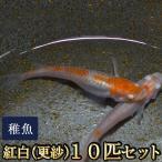 メダカ / 紅白めだか 未選別 稚魚 SS-Sサイズ 10匹セット / 更紗 限定大特価