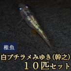 メダカ / 白ブチラメみゆき(幹之)めだか 虹色ラメ 未選別 稚魚 SS-Sサイズ 10匹セット 限定大特価
