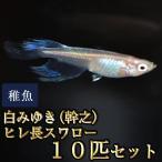 メダカ / 白みゆき(幹之)ヒレ長スワローめだか 松井系 未選別 稚魚 SS-Sサイズ 10匹セット