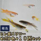 メダカ / ヒレ長スワローめだか色々お楽しみ 未選別 稚魚 SS-Sサイズ 10匹セット(お一人様1点限り)
