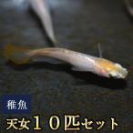 メダカ / 天女めだか 稚魚 SS-Sサイズ 10匹セット 限定大特価