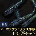 メダカ / オーロラブラックラメめだか 虹色ラメ 未選別 稚魚 SS-Sサイズ 10匹セット / 夜桜